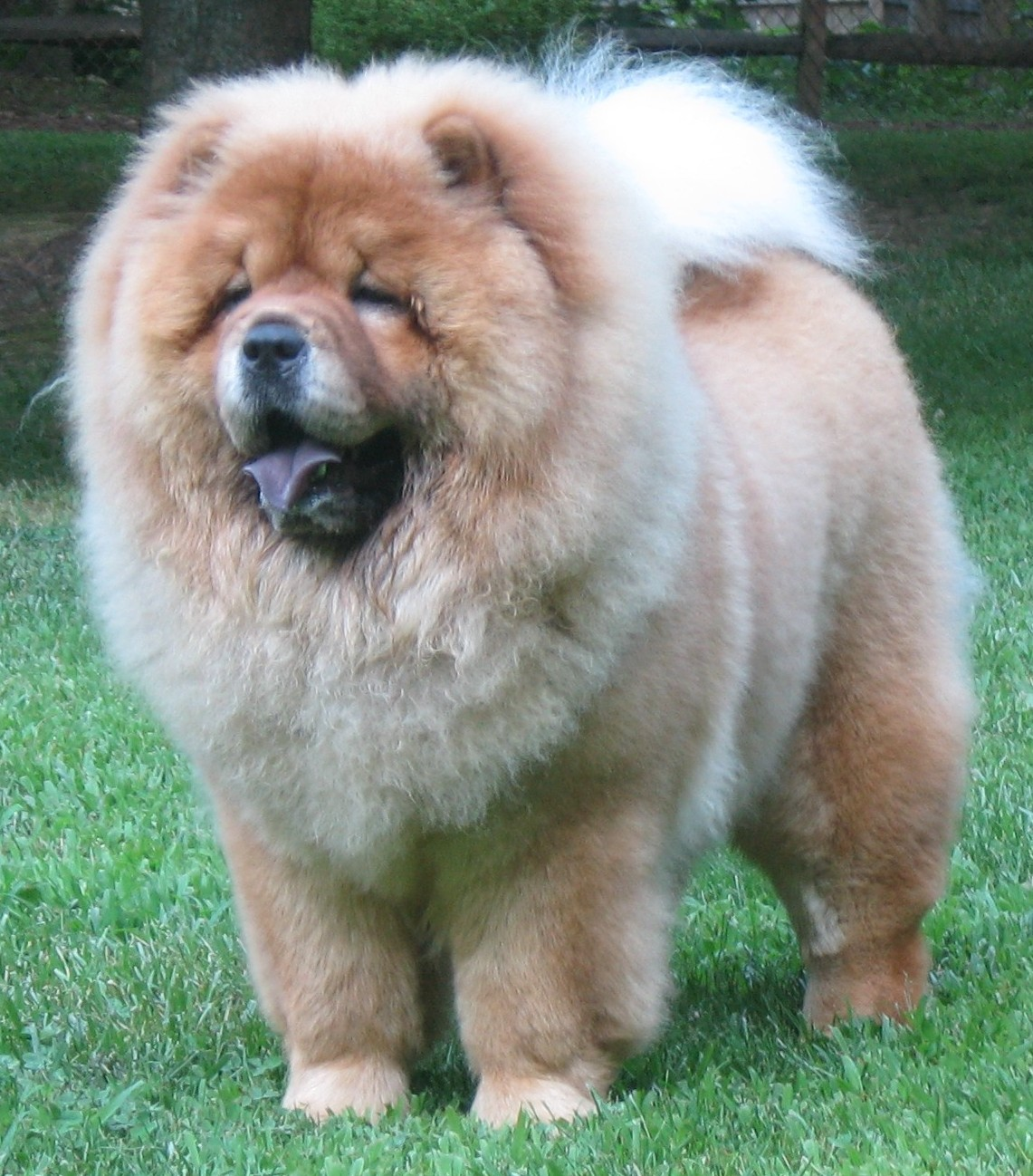 Baby Chow Chows | www.pixshark.com - Images Galleries With ...